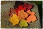 Herbstblätter  ++ AHORN ++ Applikationen